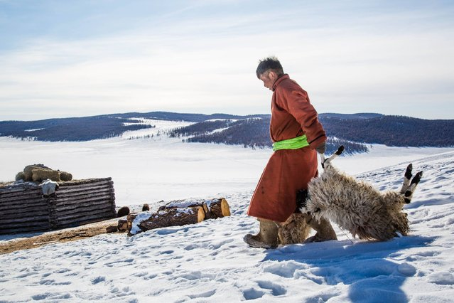 "This handout photo taken on February 12, 2017 and released on February 16 by the International Federation of Red Cross and Red Crescent Societies (IFRC) shows Mongolian herder Munkhbat Bazarragchaa (C) dragging two sheep – which recently died due to the weather - to a pile of dead animals behind his ""ger"" in Khuvsgul province, northern Mongolia. Thousands of Mongolian herders face disastrous livestock losses from dreaded severe weather  known as the ""dzud"", the Red Cross said on February 16, 2017 in launching an international emergency aid appeal. (Photo by Mirva Helenius/AFP Photo/IFRC)"