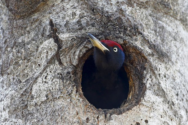 A woodpecker looks out of a hollow in a tree in the 30 km (19 miles) exclusion zone around the Chernobyl nuclear reactor near the abandoned village of Babchin, Belarus, April 3, 2016. (Photo by Vasily Fedosenko/Reuters)