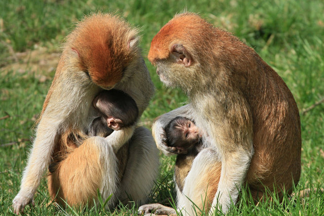 Two ten-day-old Patas Monkey babies and their mothers sit in the sun at the zoo in Olomouc, Central Moravia, Czech Republic on March 31, 2014. (Photo by Radek Mica/AFP Photo)