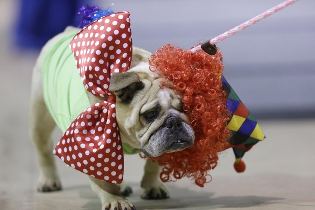Jasmine Josephine loses her wig as she walks across stage during judging at the 35th annual Drake Relays Beautiful Bulldog Contest, Monday, April 21, 2014, in Des Moines, Iowa. The dog is owned by Valerie Lillibridge, of Rockwell, Iowa. (Photo by Charlie Neibergall/AP Photo)