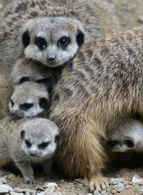Meerkat mother Hilde sits in her enclosure with her four babies at the zoo in Dresden, Germany, Wednesday, May 7, 2014. Since 2012 the meerkats of the Dresden zoo almost doubled. (Photo by Matthias Hiekel/AP Photo/DPA)