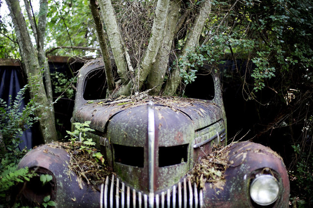 Trees grow through the windshield of a 1937 Chrysler Imperial as it sits at Old Car City, the world's largest known classic car junkyard Thursday, July 16, 2015, in White, Ga. Many of the cars have never moved in over 30 years and in some cases, trees now grow through them, even lifting some off the ground. (Photo by David Goldman/AP Photo)