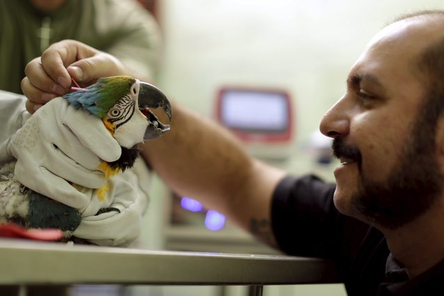 A blue-throated macaw receives acupuncture and laser therapy treatment at the veterinary hospital in Brasilia Zoo, July 30, 2015. (Photo by Ueslei Marcelino/Reuters)