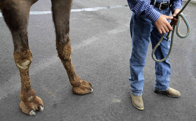 """A camel and his handler stand for a media interview after arriving from Kansas for an exhibition race billed as """"The Cameltonian"""", at the Meadowlands Race Track in East Rutherford, New Jersey, June 19, 2014. Run by Hedrick's Promotions in Nickerson, Kansas, this is the third year the race has been run at the track, in tandem with an ostrich race. (Photo by Ray Stubblebine/Reuters)"""