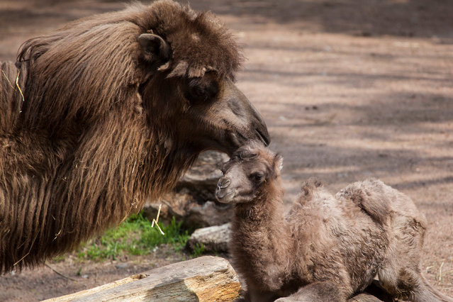 Bactrian camel named Alexander Camelton is seen with his mother at the Lincoln Park Zoo in Chicago, Illinois, U.S. May 18, 2016. (Photo by Christopher Bijalba/Reuters/Lincoln Park Zoo)