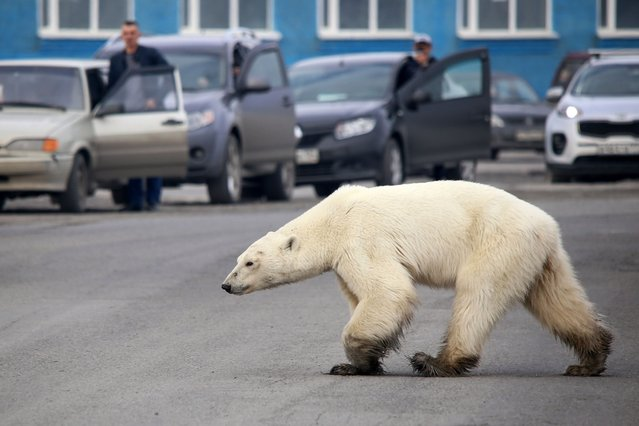 A stray polar bear walks on a road on the outskirts of the Russian industrial city of Norilsk on June 17, 2019. A hungry polar bear has been spotted on the outskirts of Norilsk, hundreds of miles from its natural habitat, authorities said on June 18, 2019. (Photo by Irina Yarinskaya/Zapolyarnaya Pravda Newspaper/AFP Photo)