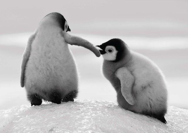 Undated David Yarrow handout photo of penguins as the self-taught wildlife photographer promotes his book, Encounter. (Photo by David Yarrow/Clearview/PA Wire)
