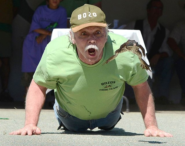 Brent Bloom urges on his frog, Jumping Bob, at the Jumping Frog Jubilee, May 20, in Calaveras County, Calif