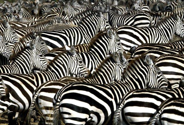 Common zebras seen in Masai Mara, Africa. (Photo by Ferrero-Labat/Ardea/Caters News)