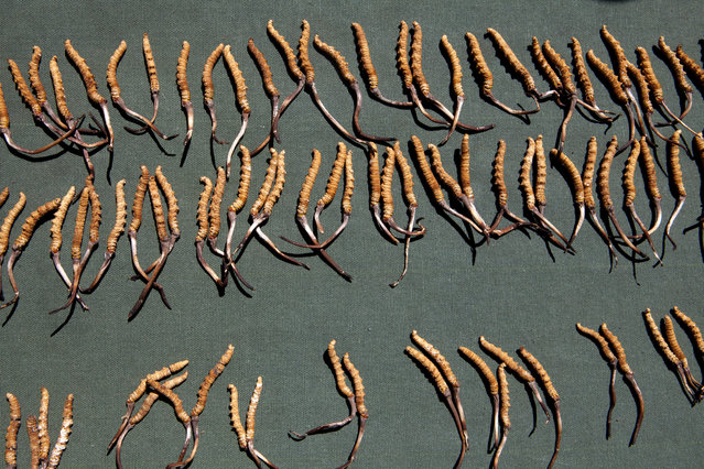 Cordyceps, also known as Caterpillar Fungus and which can sell for up to 90$ per gram, are exposed at a market in Yushu, a county-level city of Yushu Tibetan Autonomous Prefecture in the southern part of Qinghai province on May 30, 2016. The city is 3700m above sea level. (Photo by Giulia Marchi/The Washington Post)