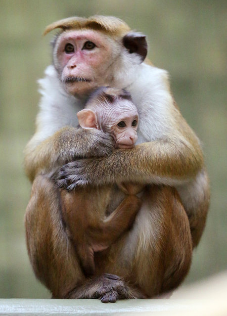 A mother toque macaque, which is a kind of monkey from Ceylon, holds her male baby at Zoo Berlin on October 23, 2012 in Berlin, Germany. The baby monkey was born on August 23. (Photo by Sean Gallup)