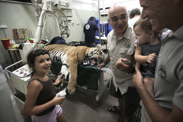 """Israeli children look at Gaza's last tiger, named Laziz, which was evacuated from a zoo in Khan Yunis in the southern Gaza Strip as it is treated by members of the international non-government """"Four Paws"""" organization and vets from the Israeli Hebrew University veterinary teaching hospital in Beit Dagan, near Tel Aviv, on August 24, 2016, prior to being transported to South Africa. The tiger left the war-ravaged Palestinian enclave with monkeys, emus, a porcupine and other animals from a zoo dubbed the """"world's worst"""", heading for a new life in South Africa and elsewhere. (Photo by Menahem Kahana/AFP Photo)"""