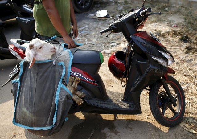 A man prepares to use a motorcycle to deliver a goat to a customer from a makeshift livestock market ahead of the Eid al-Adha festival in Jakarta September 22, 2015. (Photo by Darren Whiteside/Reuters)