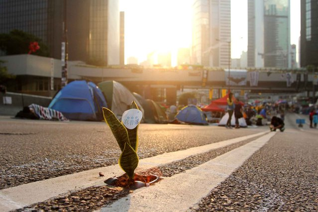 A mother-in-law plant is placed on a road's cat eye as pro-democracy demonstrators sleep in tents on a highway near the government offices in Hong Kong on October 14, 2014. Demonstrators had set up camp over a major east-west thoroughfare which usually carries buses, cars and trams, disrupting traffic and angering many locals who said business was being affected. (Photo by Laurent Fievet/AFP Photo)