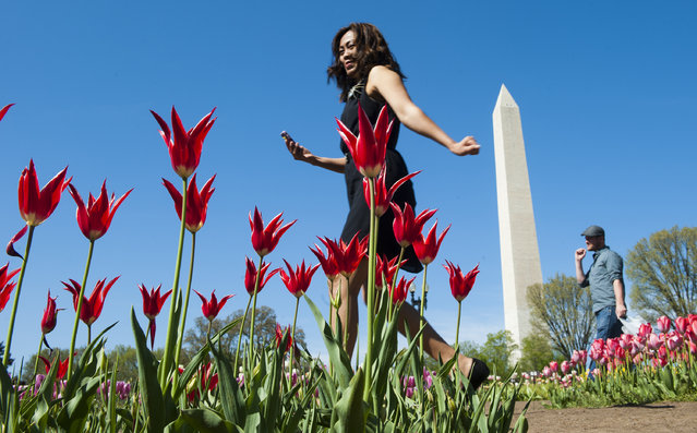 Auy Yadeo of Falls Church wanders through the Floral Library on the north side of the Tidal Basin just off Independence Ave. April 27, 2014 in Washington, DC.  The library features nearly 100 different varieties of tulips each spring. (Photo by Katherine Frey/The Washington Post)