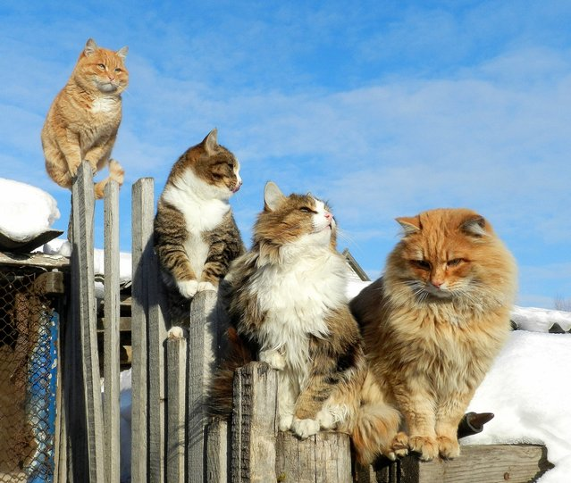 Cats enjoy frosty winter weather. Russia, November 29, 2011. (Photo by Alla Lebedeva)