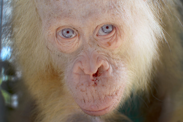 A rare 5-year-old female albino orangutan is seen after it was rescued from captivity by authorities in Kapuas Hulu district, Central Kalimantan province, Indonesia April 29, 2017. (Photo by Reuters/BOSF/Indrayana)