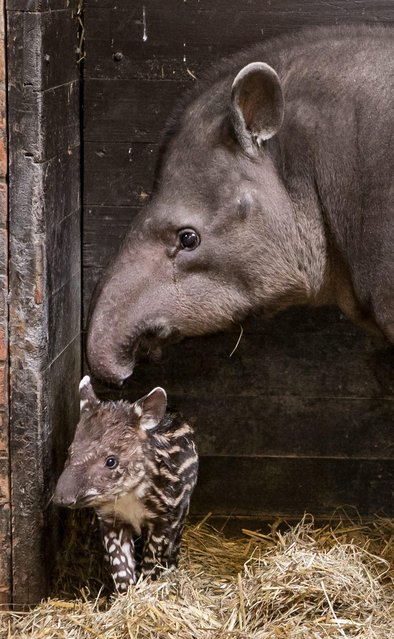 A one-week old female South American tapir (L) with her mother Sabrina in their enclosure in Wroclaw Zoo in Wroclaw, Poland, 18 January 2013. (Photo by Maciej Kulczynski/EPA)