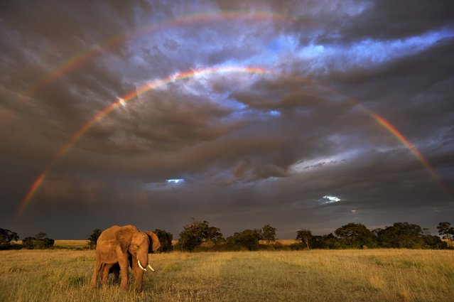 "This photo provided by Netflix/naturepl.com and WWF-International shows an African Elephant (Loxodonta africana) in front of double rainbow, in Masai Mara, Kenya, included in the Netflix natural history series, ""Our Planet"", in collaboration with Silverback Films and WWF. The eight-part series debuts in 2019. (Photo by Andy Rouse/Naturepl.com/WWF-International/Netflix via AP Photo)"