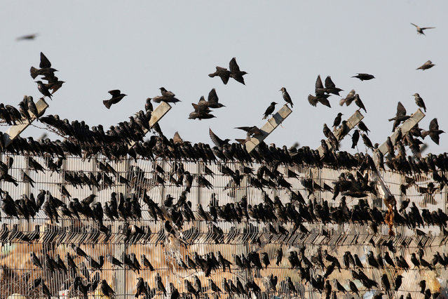 Migrating starlings are seen as they rest on a fence before murmuration in the sky near the village of Beit Kama in southern Israel on January 16, 2018. (Photo by Ronen Zvulun/Reuters)