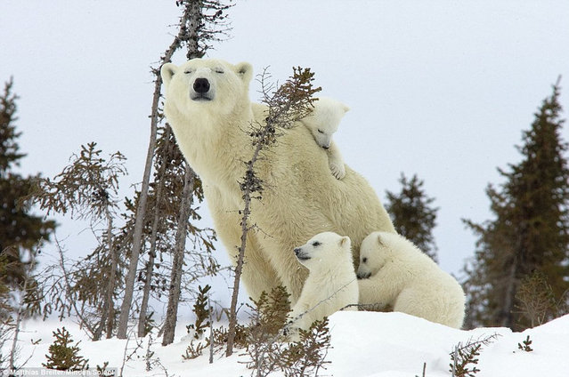 Family Of Polar Bears