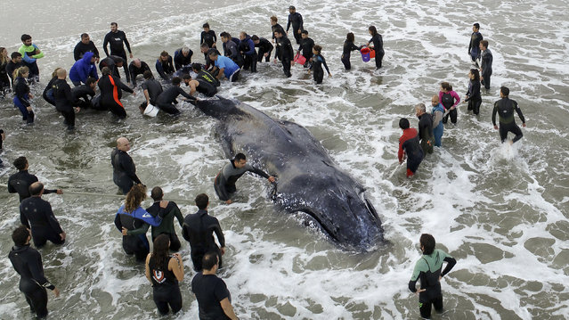 Members of the Argentine Naval Prefecture and volunteers work on rescuing a stranded humpback whale in Mar del Plata, Argentina, late Sunday, April 8, 2018. The whale beached Saturday afternoon. (Photo by Pablo Hugo Funes/AP Photo)
