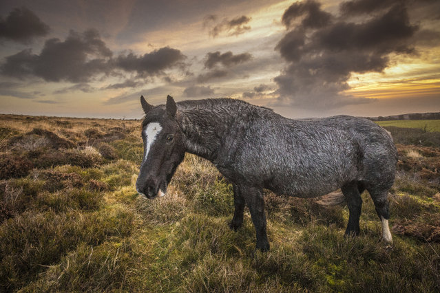 A wild pony pictured on the Quantock Hills early morning on January 02, 2015 in Somerset, England. (Photo by Vistaphotography/Barcroft Media)
