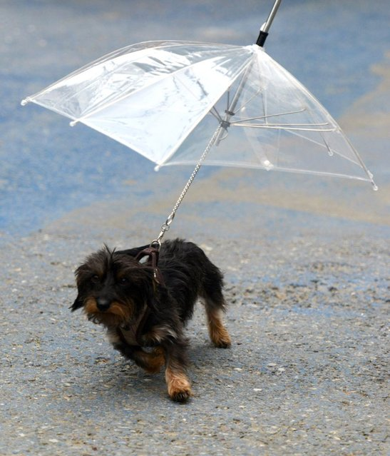 "Dog puppy ""Sandy"" protects against the rain with an umbrella fixed on her leash during a stroll in Rust, southern Germany, on May 26, 2013. (Photo by Patrick Seeger/AFP Photo)"