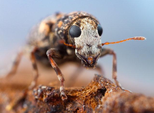 Small Fungus Weevil. Dissoleucas niveirostris, Anthribidae, 4mm. (John Hallmén)