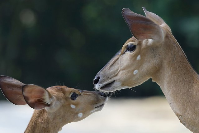 Female Nyalas are seen at the Singapore Zoo, on June 30, 2013. (Photo by Suhaimi Abdullah/Getty Images)