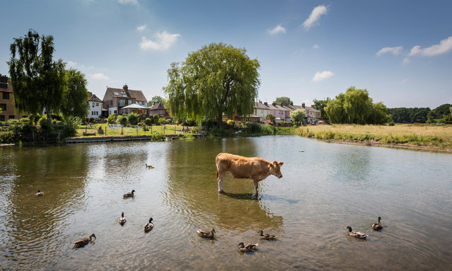 A cow and some ducks keep cool in the river Stour in Suffolk, Sudbury, England on June 27, 2018. (Photo by Graham Turner/Alamy Live News)