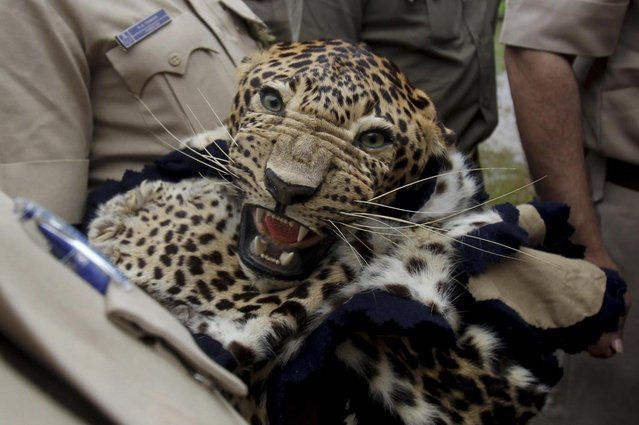 Indian wildlife officials hold a leopard skin prior to a burning of wildlife contraband including tiger and leopard skins, and bones as part of a campaign to save the tiger in Mumbai, India, Tuesday, July 30, 2013. Despite conservation efforts, tiger numbers in India have declined due to rampant poaching of the cats for their valuable pelts and body parts that are highly prized in traditional Chinese medicine. (Photo by Rafiq Maqbool/AP Photo)