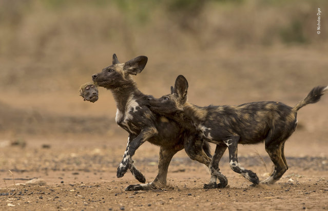 "Ahead in the game by Nicholas Dyer, UK. Highly commended, Behaviour: Mammals. ""A pair of African wild dog pups play a macabre game of tag with the head of a chacma baboon – the remains of their breakfast. The endangered African wild dog (aka the painted hunting dog) is best known for hunting antelopes, such as impalas and kudus. But over the past five years, in Mana Pools National Park, northern Zimbabwe, three different packs have regularly killed and eaten baboons – highly unusual, not least because baboons are capable of inflicting severe wounds"". (Photo by Nicholas Dyer/2018 Wildlife Photographer of the Year)"