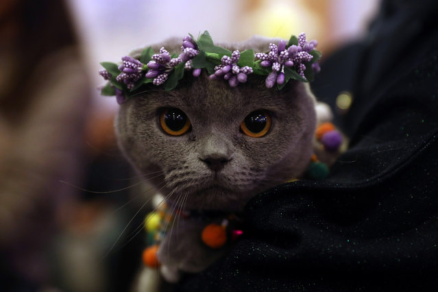 "A cat is presented during ""the ""3rd International Pursaklar Cat Beauty Fest"", on October 14, 2018 in Ankara. (Photo by Adem Altan/AFP Photo)"