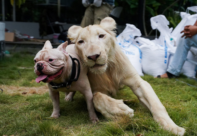 A confiscated pet lion poses with a dog as it arrived back home from the Phnom Tamao Wildlife Rescue Center after Prime Minister Hun Sen ordered authorities to return the animal in Phnom Penh, Cambodia, July 5, 2021. (Photo by Cindy Liu/Reuters)