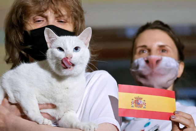 Achilles the cat, that lives in St. Petersburg's Hermitage museum, chooses Spain while attempting to predict the result of the UEFA Euro 2020 quarter final match between Switzerland and Spain during an event in Saint Petersburg, Russia on July 2, 2021. (Photo by Maxim Shemetov/Reuters)