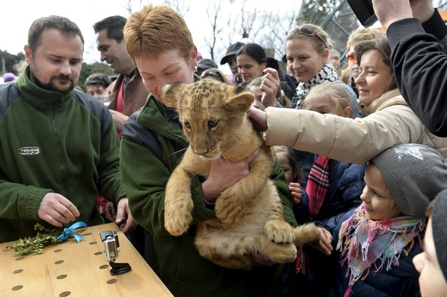 One of two fourteen-week old Barbary lions (Panthera leo leo), a male named Ramzes and a female named Zara, during a naming ceremony at the Bojnice Zoo April 4, 2015. (Photo by Radovan Stoklasa/Reuters)