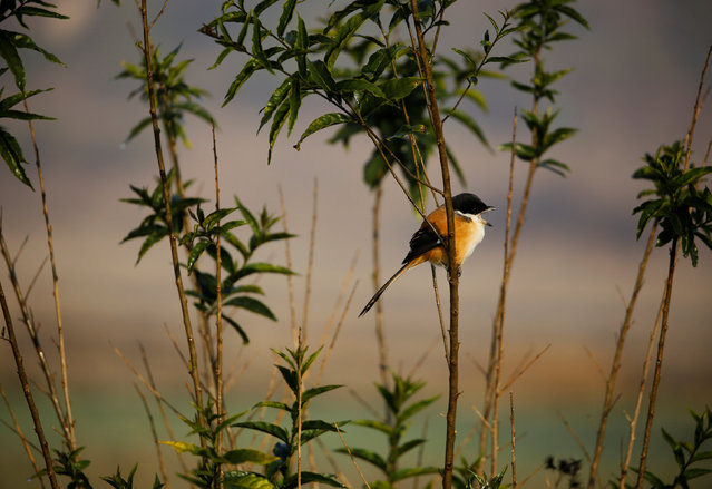 A bird sits on a twig of a plant on the fields at Khokana in Lalitpur, Nepal January 9, 2017. (Photo by Navesh Chitrakar/Reuters)