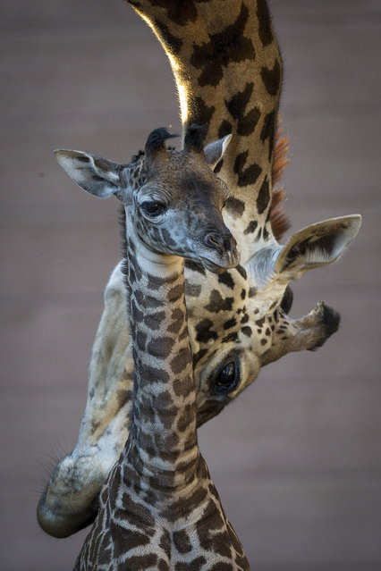 This photo provided by the San Diego Zoo shows Masai giraffe Bahati as she introduces her new calf to the rest of the herd after tenderly grooming her to make sure she was presentable enough to meet the rest of the family, Tuesday, December 31, 2013 in San Diego. T(Photo by Ken Bohn/AP Photo/San Diego Zoo)