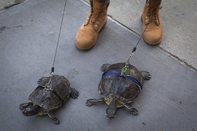 Resident Chris Roland walks his pet turtles Cindy (L) and Kuka up Madison Avenue in the Upper East Side of Manhattan, New York September 4, 2014. Roland has had the turtles for years and walks them daily, he said. (Photo by Carlo Allegri/Reuters)