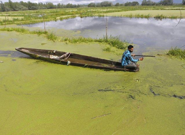 A man paddles his boat along the algae-covered Anchar Lake in Srinagar April 20, 2015. (Photo by Danish Ismail/Reuters)
