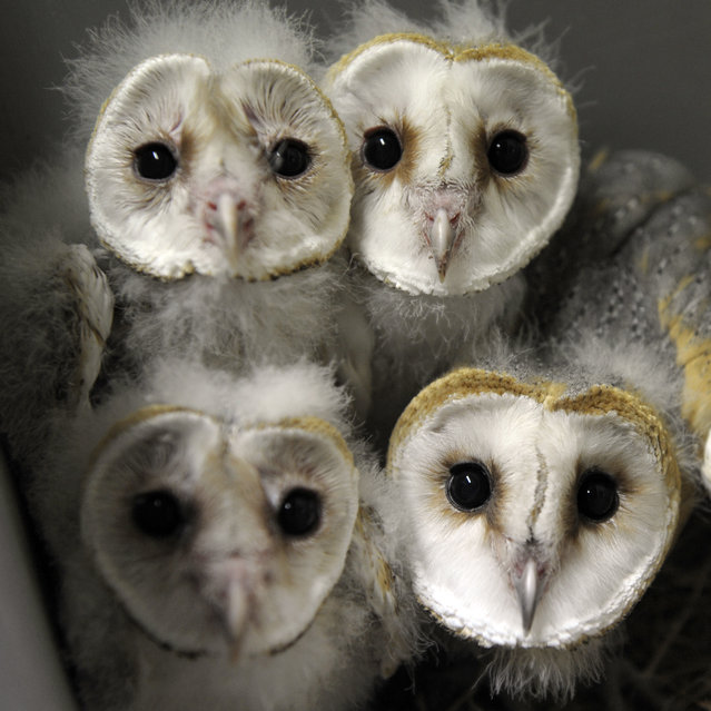 Barn Owl chicks (chouette-effraie) are pictured at the zoo of the French eastern city of Amneville, on July 8, 2013. (Photo by Jean-Christophe Verhaegen/AFP Photo)