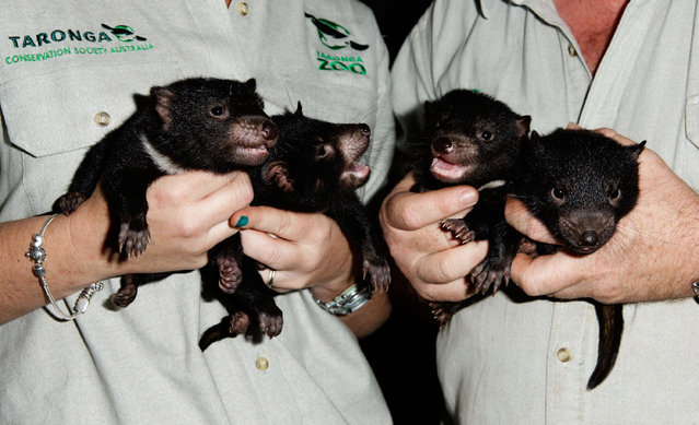 Three male and one female Tasmanian Devil joeys are seen at Taronga Zoo on October 22, 2009 in Sydney, Australia. (Photo by Brendon Thorne/Getty Images)