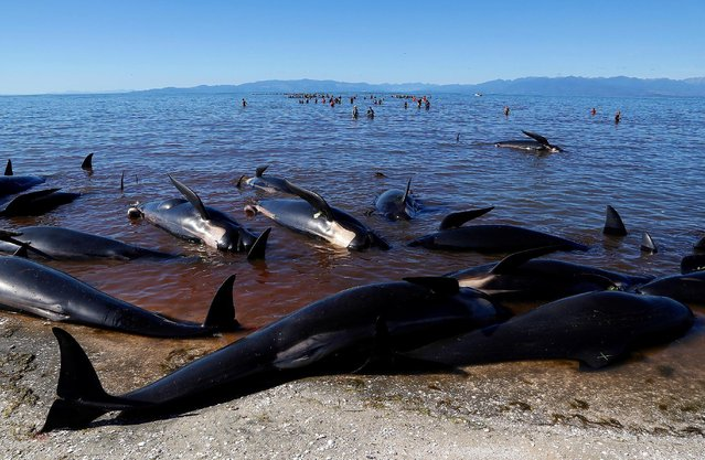 Volunteers try to guide some of the stranded pilot whales still alive (in background) back out to sea after one of the country's largest recorded mass whale strandings, in Golden Bay, at the top of New Zealand's South Island, February 11, 2017. (Photo by Anthony Phelps/Reuters)