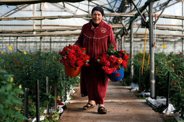 A woman carries buckets filled with freshly picked roses, intended for sale for Valentine's Day, at a greenhouse in Moshav Berekhya, southern Israel February 13, 2017. (Photo by Amir Cohen/Reuters)