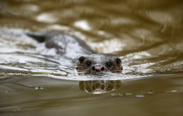 An otter swims in a river in the 30 km (19 miles) exclusion zone around the Chernobyl nuclear reactor in the abandoned village of Pogonnoe, Belarus, March 13, 2016. (Photo by Vasily Fedosenko/Reuters)