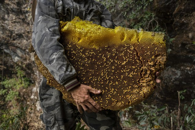 A Chinese ethnic Lisu honey hunter holds a large piece of wax from a hive while gathering wild cliff honey in a gorge on May 10, 2019 near Mangshi, in Dehong prefecture, Yunnan province China. (Photo by Kevin Frayer/Getty Images)