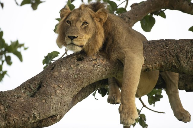 A lion naps draped across two branches of a tree with his paws and tail dangling down. The stunning photo was taken at the Queen Elizabeth National Park in Uganda where he is one of the main attractions. Lions are not known for their tree climbing skills unlike other big cats such as leopards. But that did not stop this lion who clearly used tree climbing to cool down in the warm afternoon sun. (Photo by South West News Service)