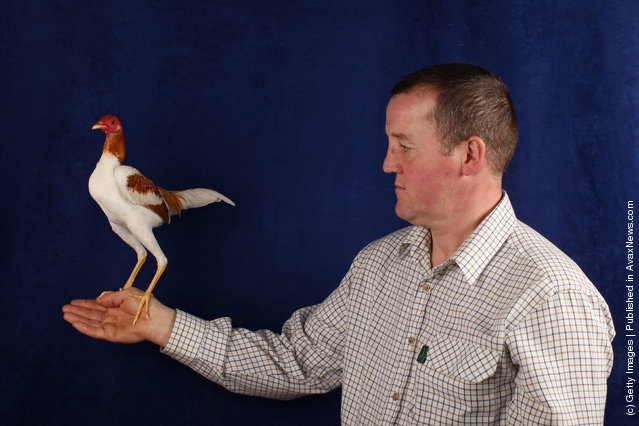 Simon McKean, from Huddersfield, holds his 7 month old Pile Modern Game Cockerel