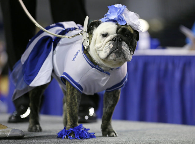 Deliylah stands after winning the best dressed dog award at the 35th annual Drake Relays Beautiful Bulldog Contest, Monday, April 21, 2014, in Des Moines, Iowa. Deliylah is owned by Tressa Yeggy, of Des Moines, Iowa. (Photo by Charlie Neibergall/AP Photo)